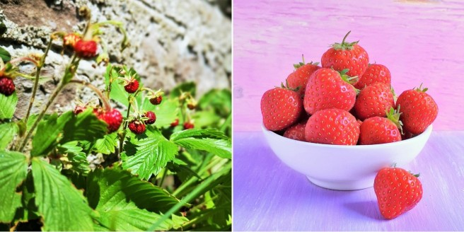 Wild_strawberries_growing_in_a_Scottish_garden_alongside_a_bowl_of_cultivated_strawberries