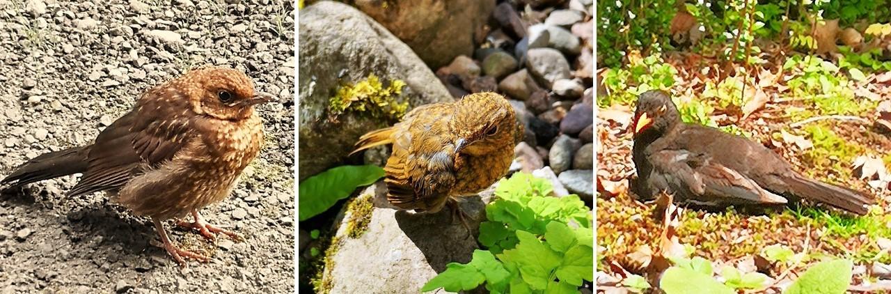 Baby_blackbird_baby_robin_sunbathing_blackbird