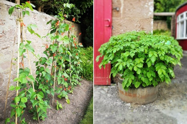 Runner_bean_plants_in_flower_and_a_beer_barrel_containing_potatoes