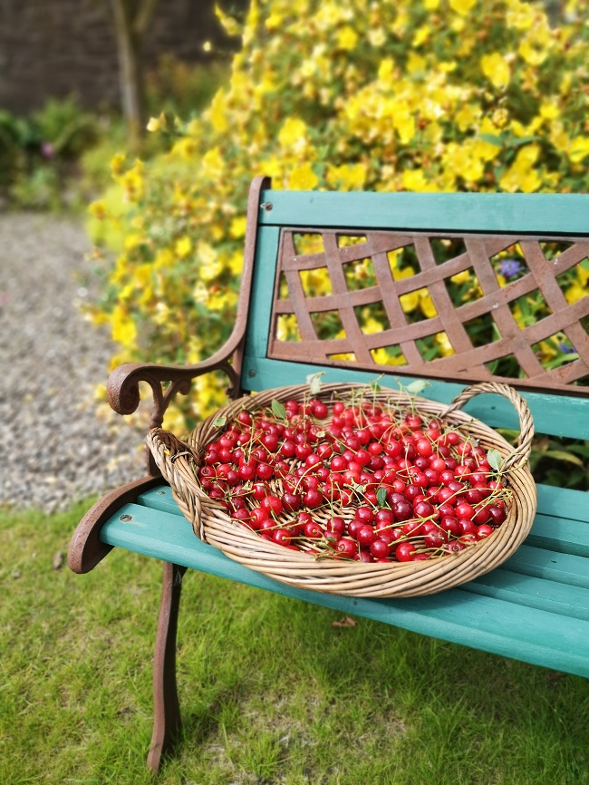 Freshly_picked_Scottish_Morello_cherries