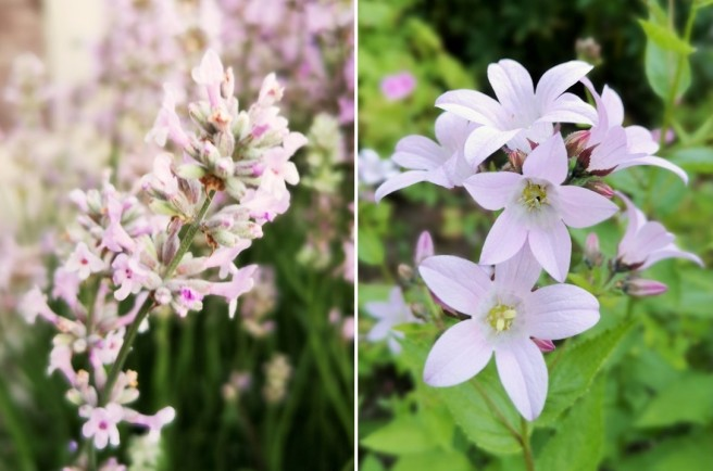 Pale_pink_lavender_and_Campanula