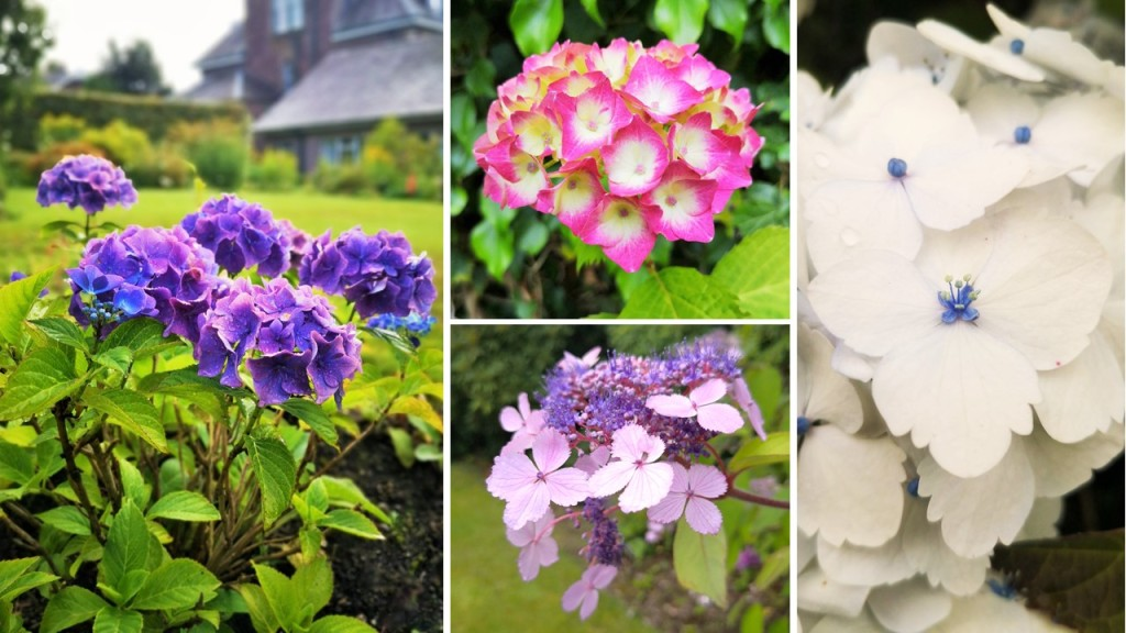 Blooming_blue_pink_mauve_and_white_Hydrangeas