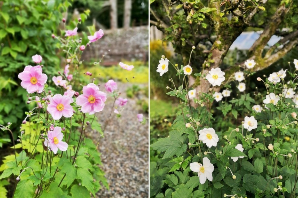 Pink_and_white_Japanese_anemones