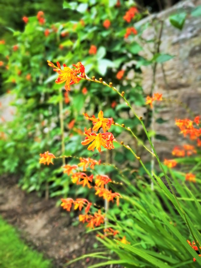 Orange_Crocosmia_in_front_of_a row_of_flowering_runner_beans