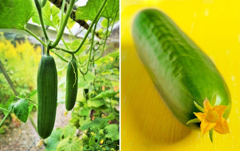 Mini_Munch_cucumbers_growing_in_greenhouse_and_still-life_with_flower_attached