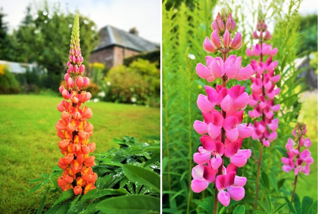 Orange_and_pink_lupins_August_2020