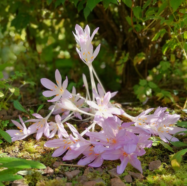 Under_a_hedgerow_Autumn_crocus_growing_in_a_collapsed_clump