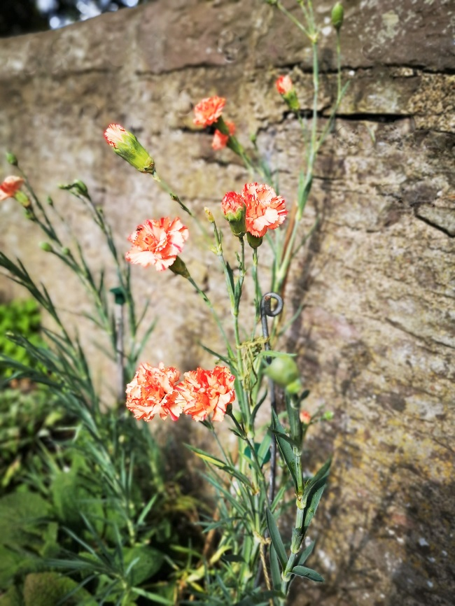 Growing_against_a_sunny_wall_orange_carnations