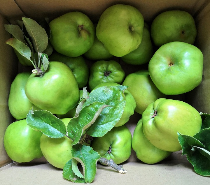 Box_of_freshly_picked_Lord_Derby_cooking_apples
