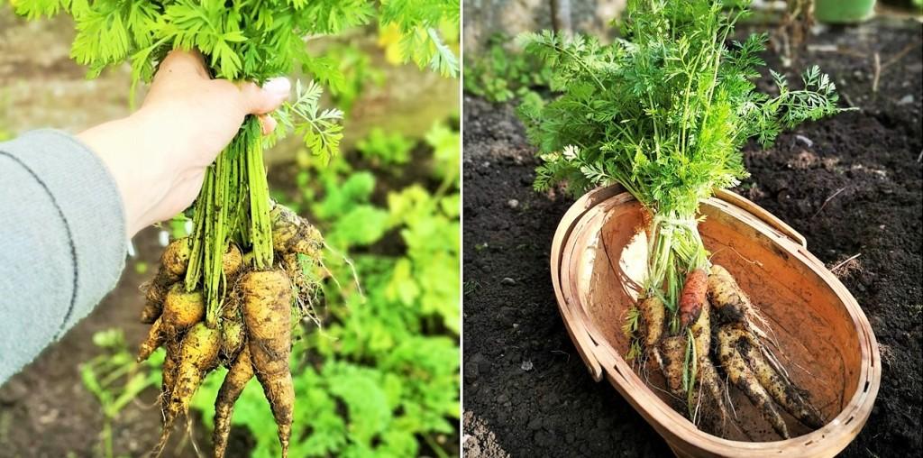 Homegrown_Scottish_carrots_September_2020