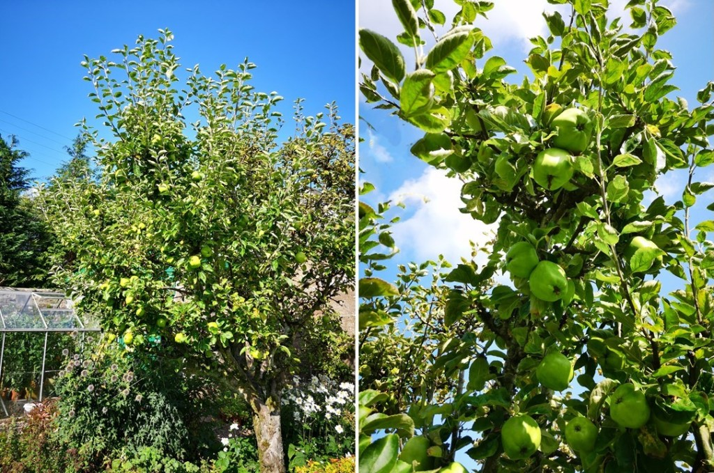 Old_apple_tree_laden_with_cooking_apples