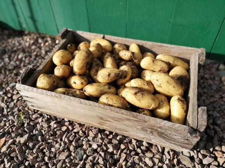 Wooden_box_of_freshly_dug_Nicola_potatoes