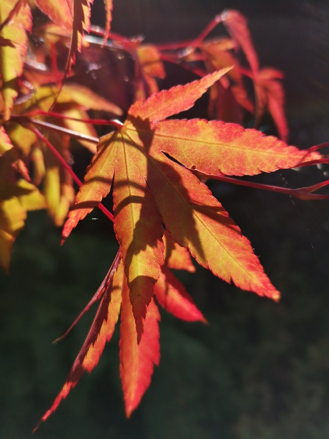 Acer_leaves_turning_colour_in_September_2020