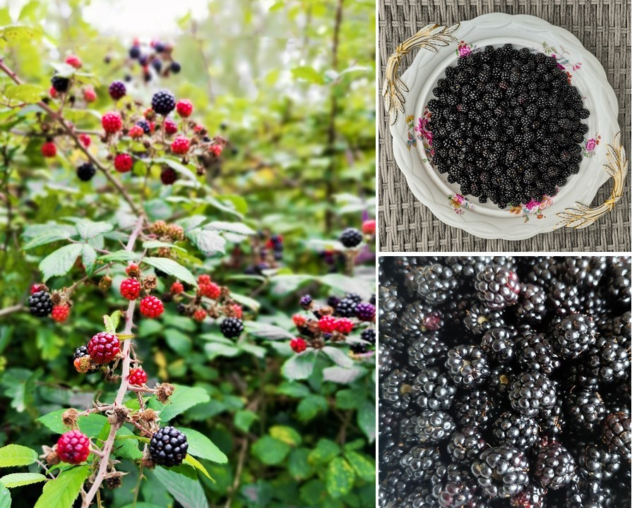 Wild_blackberries_growing_in_a_Sussex_hedgerow