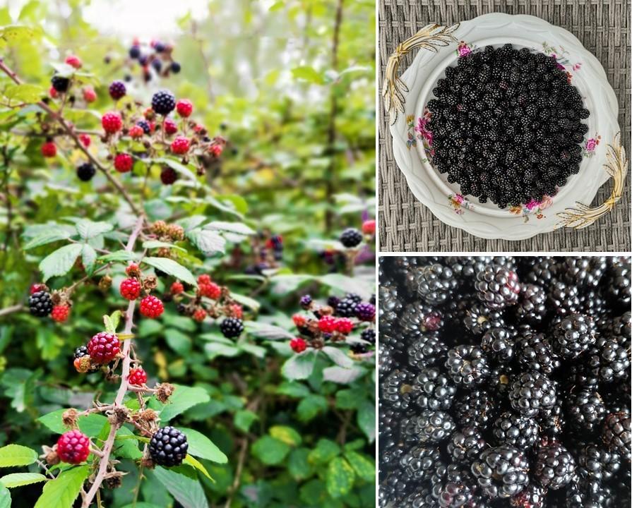 Wild_blackberries_growing_in_a_Sussex_hedgerow