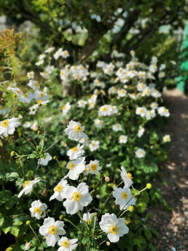White_Japanese_Anemones_September_2020