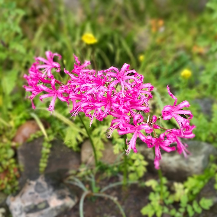 3_pink_Nerines_side_by_side