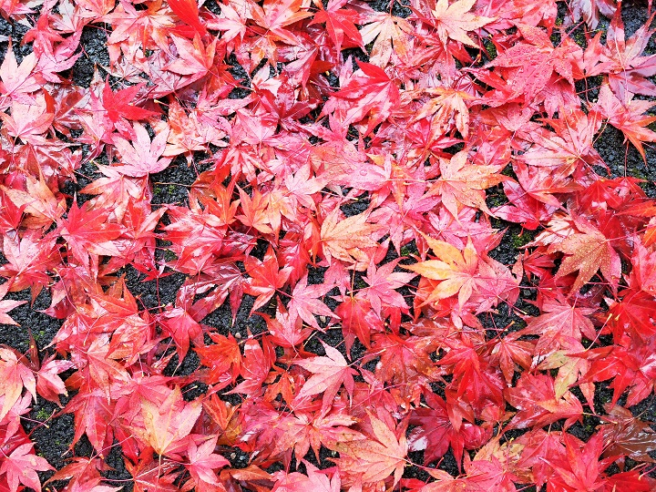 Red_Acer_leaves_on_the_ground_October_2020