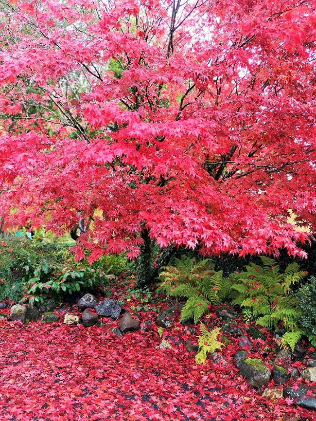 Japanese_Maple_October_2020