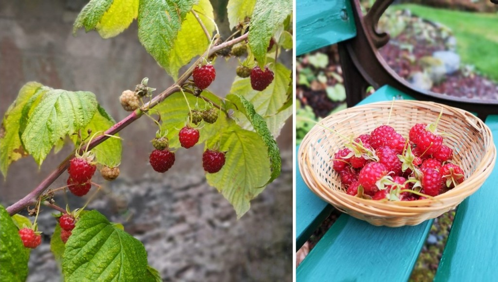 Branch_of_Autumn_raspberries_and_basket_of_picked_berries