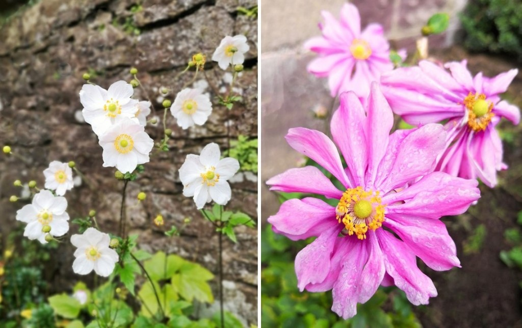 Japanese_anemones_in_flower_October_2020