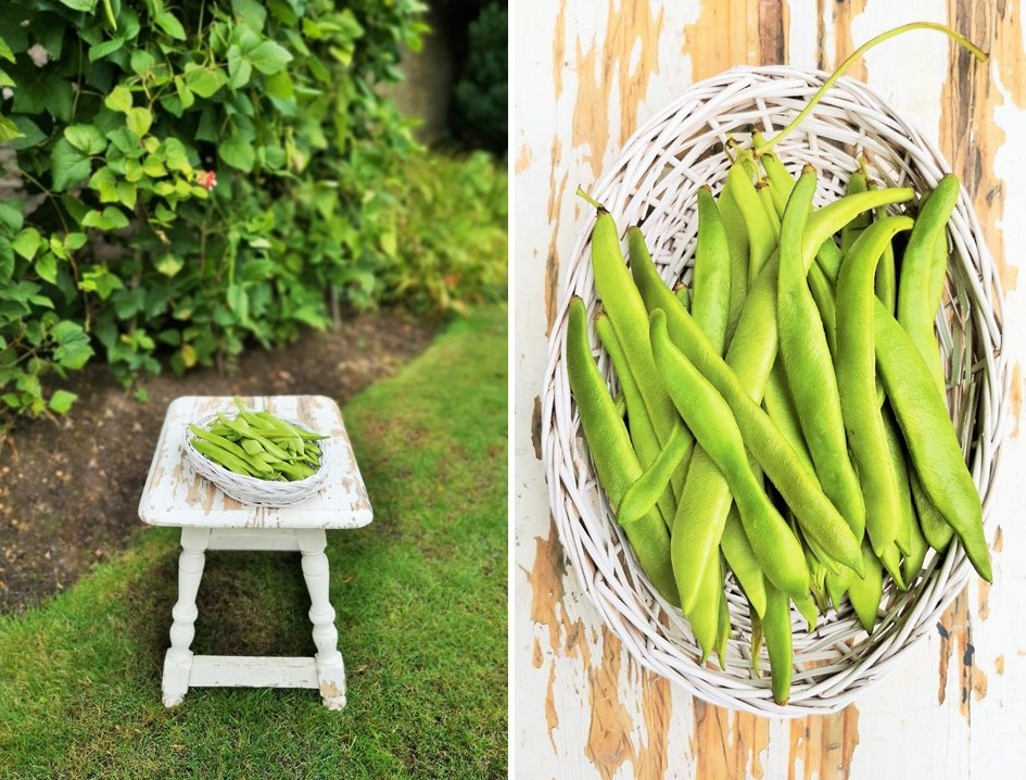 Scottish_garden_October_runner_bean_harvest