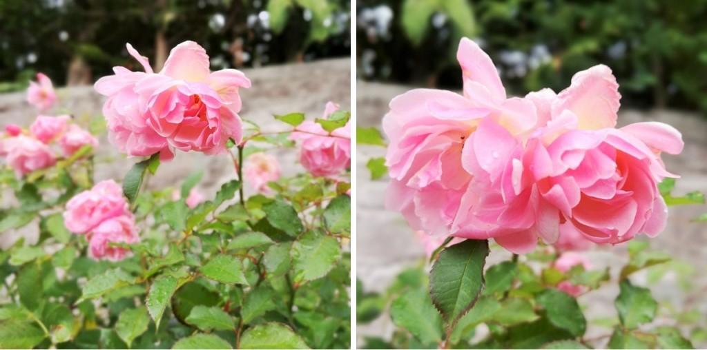 October_2020_Rosa_Felicia_in_bloom