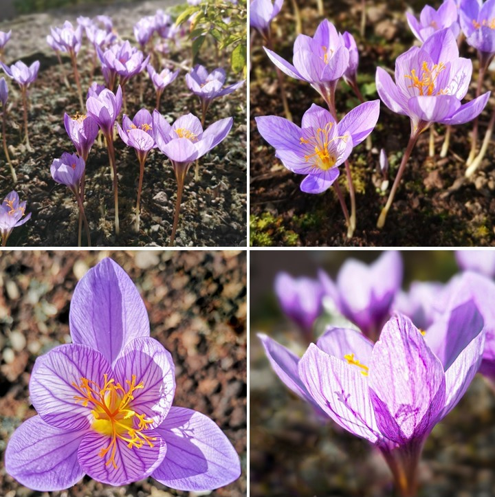 October_2020_saffron_crocus