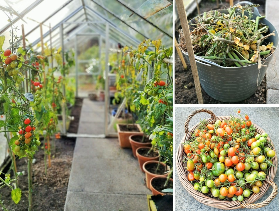 Greenhouse_tomatoes_in_a_Scottish_garden_at_the_end _of_the_season