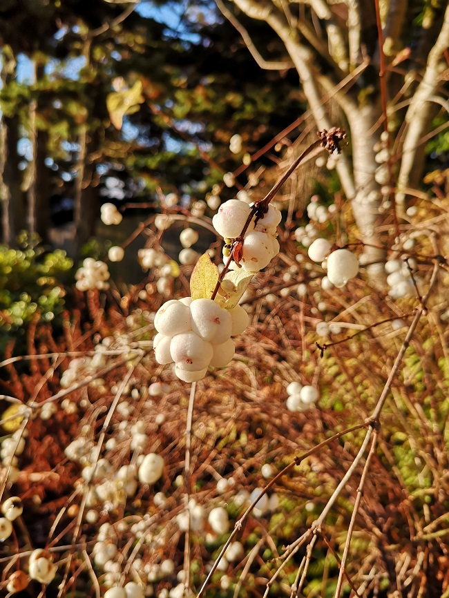 Snow_berries_under_a_blue_sky_in_late_Autumn