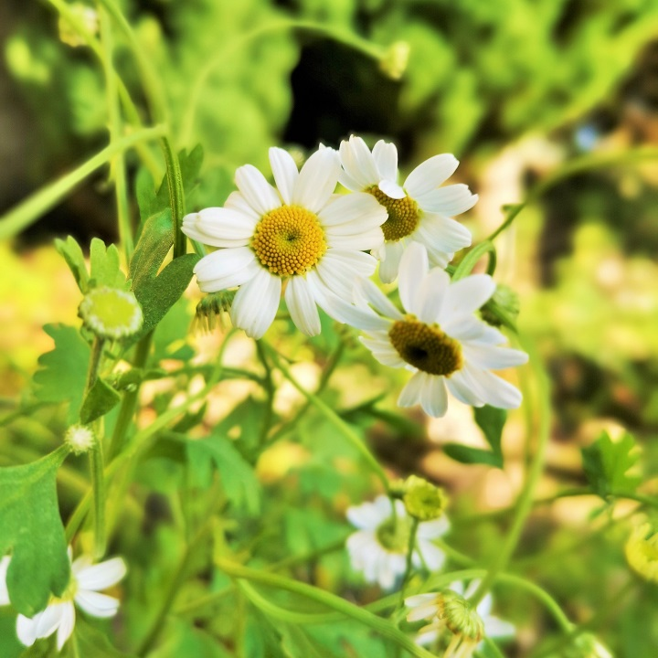 Chamomile_flowers_in_November