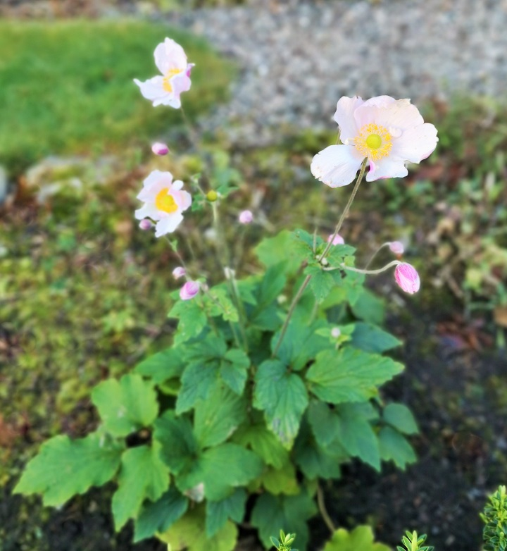 Pink_Japanese_Anemone_variety_Loreley