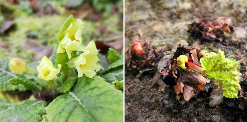 December_primrose_buds_and_new_rhubarb_shoots