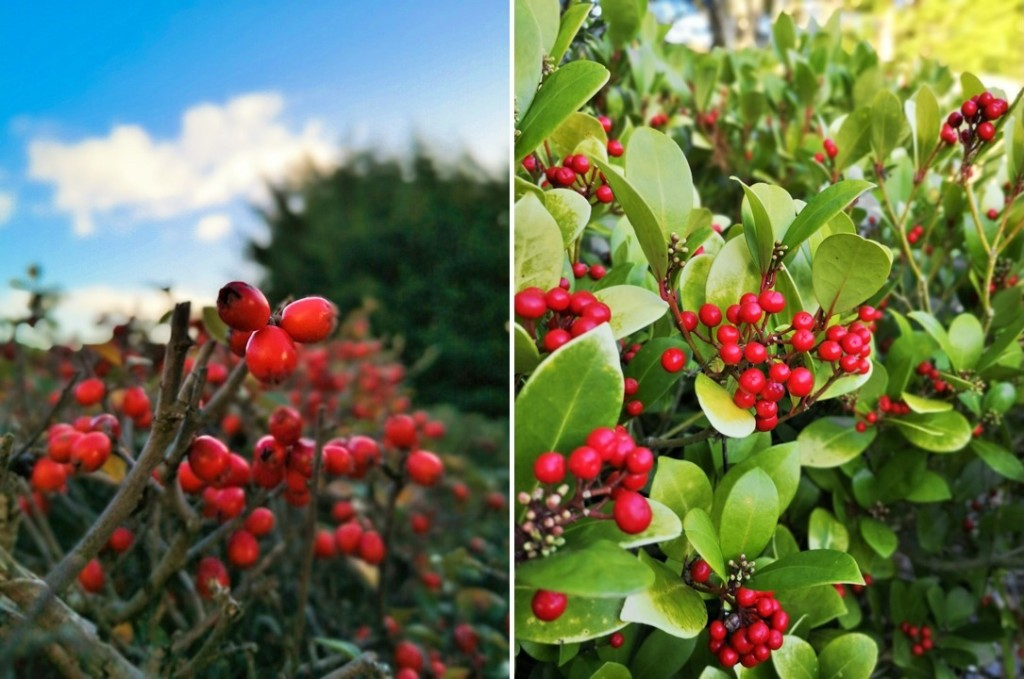 Cotoneaster_hedge_and_Skimmia_bush_covered_in_red_berries