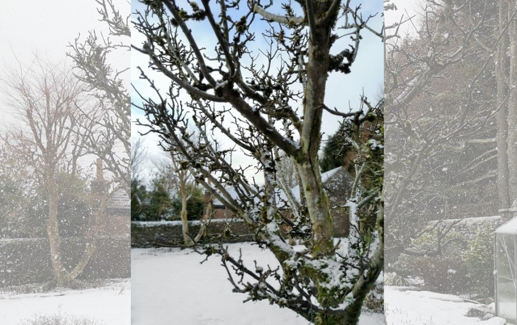 Old_apple_tree_in_the_snow