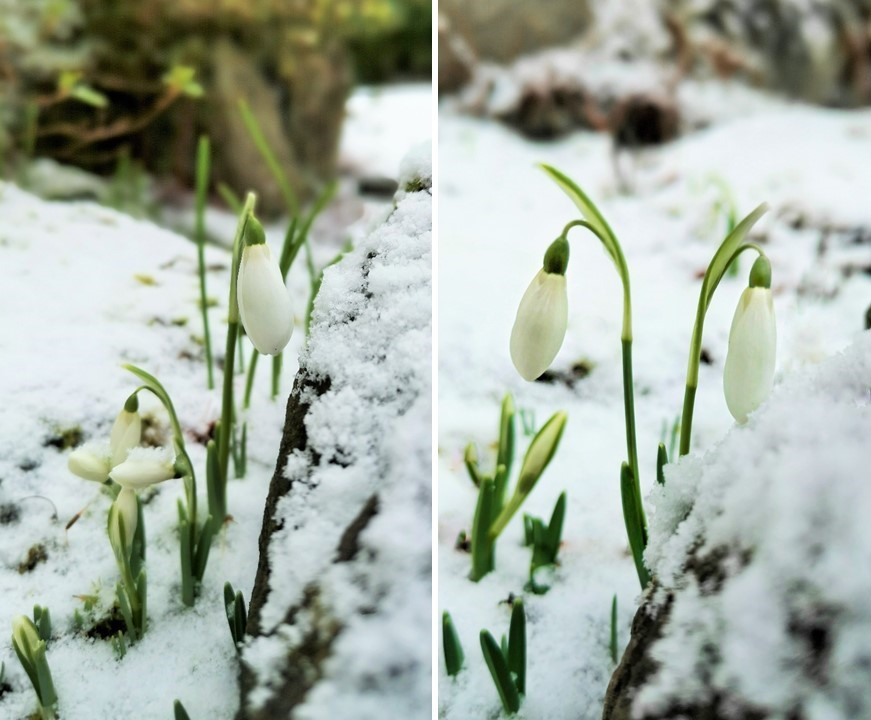 Late_January_2021_Scottish_snowdrops_in_the_snow