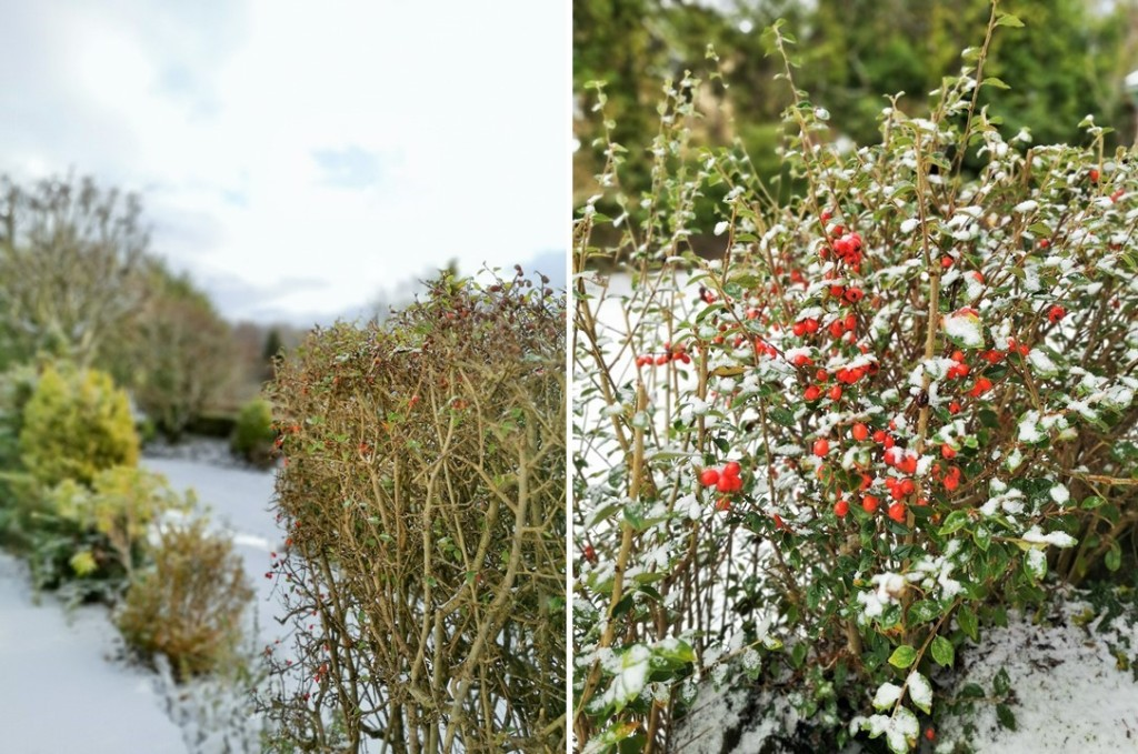 Cotoneaster_hedges_in_a_snowy_winter