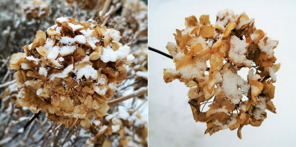 Two_faded_Hydrangea_blooms_in_the_snow