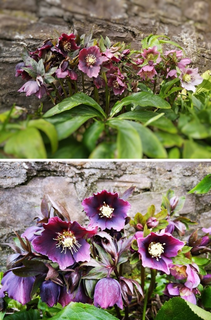 Dark_red_and_burgundy_hellebores_March_2021