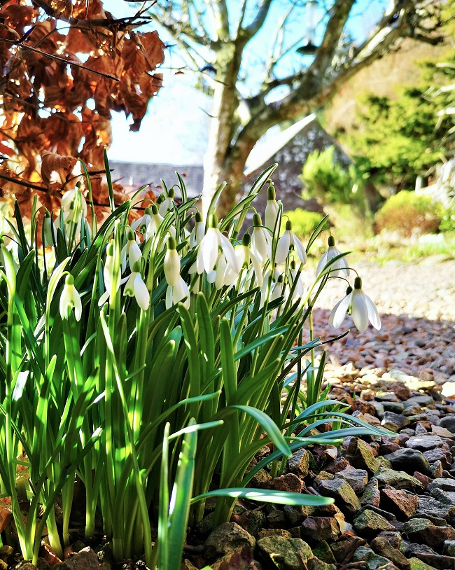 Snowdrops_under_a_beech_hedge