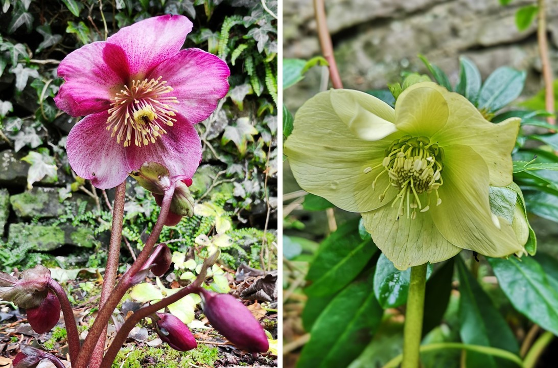 Deep_pink_and_white_Hellebore