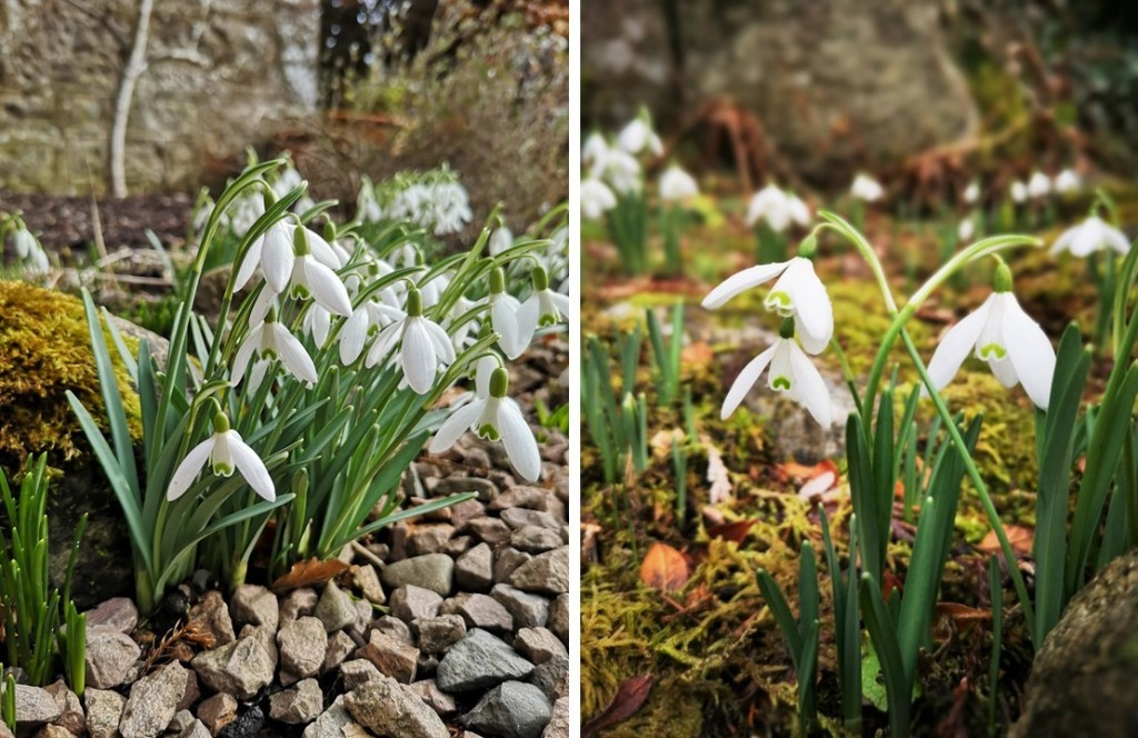 Clumps_of_Scottish_garden_snowdrops_