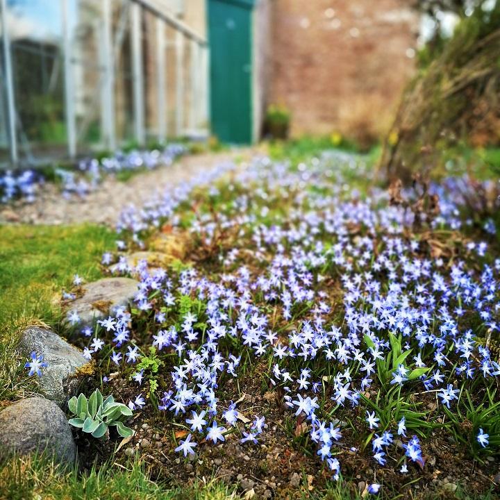 Scilla_Chionodoxa_in_flowerbeds