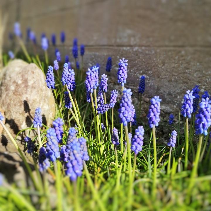 Muscari_or_grape_hyacinths_in_the_Scottish_spring_sunshine