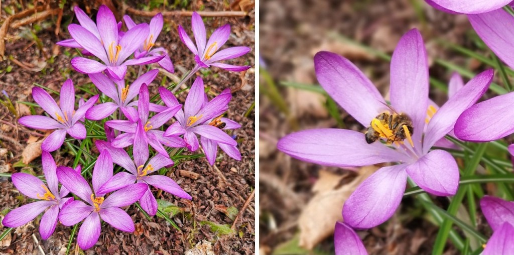 Late_March_lilac_crocus_with_bee_collecting_pollen