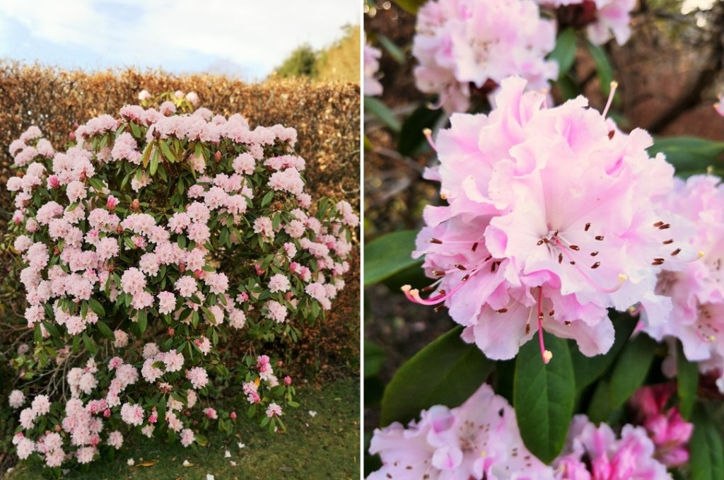Pale_pink_rhododendron_bush_March_2021