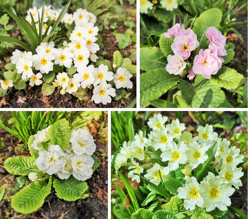 Four_varieties_of_primrose