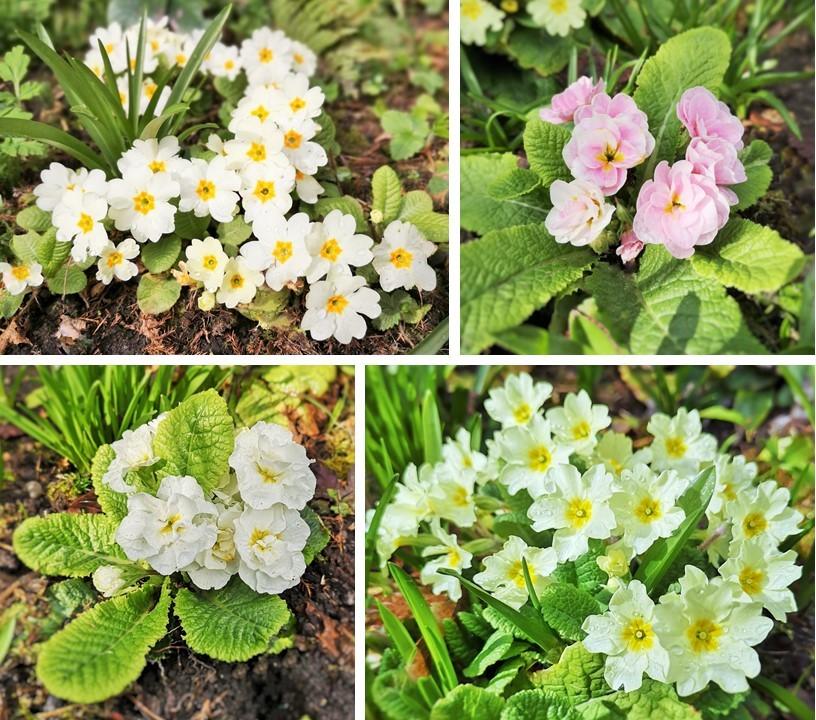 Four_varieties_of_primrose