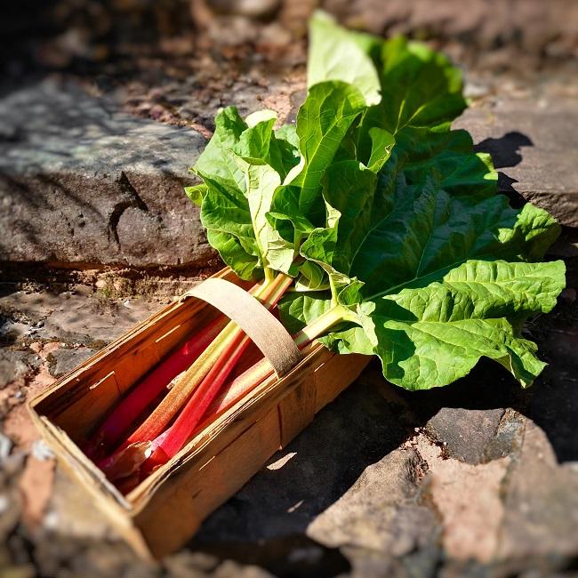 Fresh_rhubarb_stalks_picked_in_April