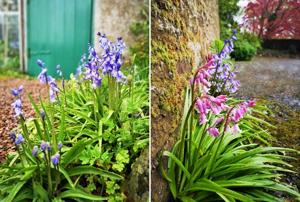 Blue_and_pink_bluebells_May_2021